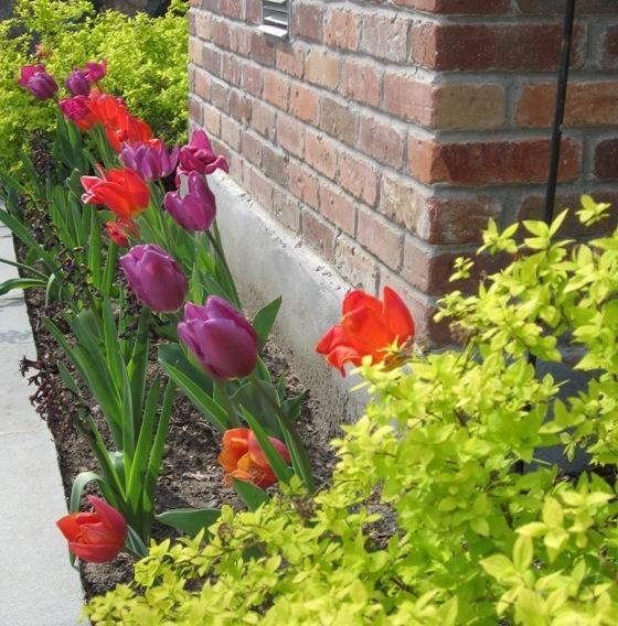 Spring bulbs Bridgewater garden