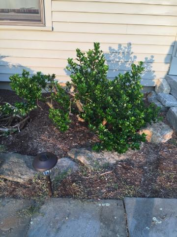 2 months after rejuvenation pruning
